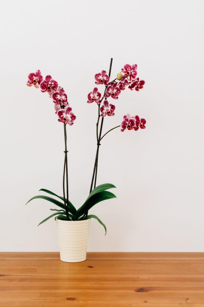 orquídea maceta