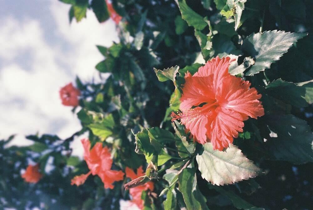 hibisco arbusto