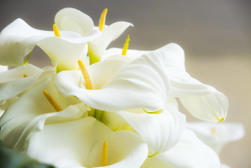 cala flor