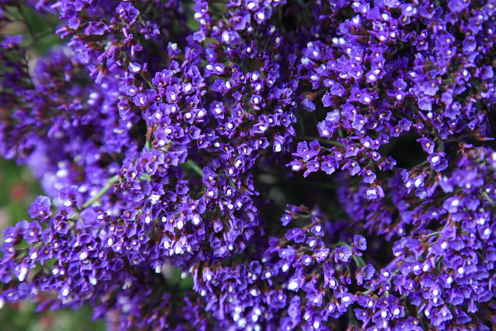 La preciosa flor limonium
