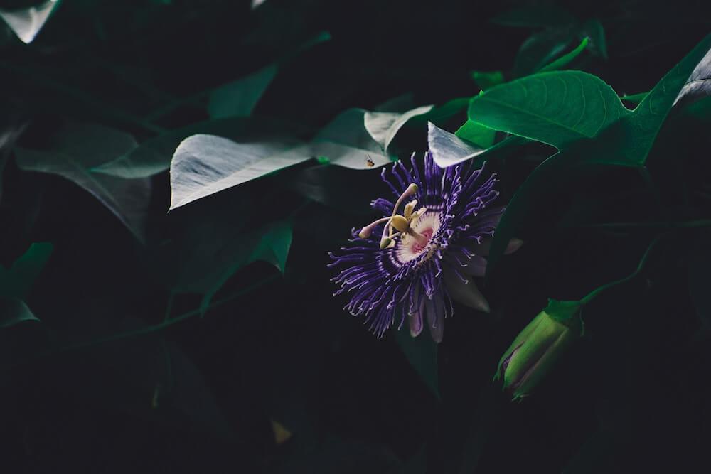 propiedades de la pasiflora flor