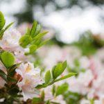 Todo sobre la flor azalea