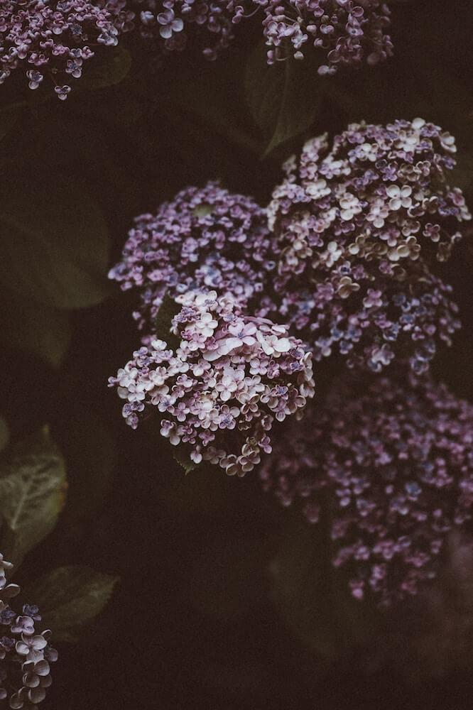 reproducir hortensias con esquejes rosa
