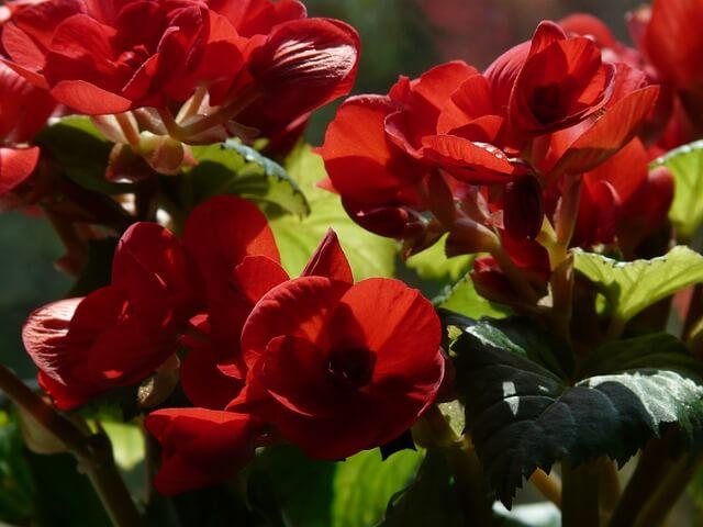 Flor begonia elatior