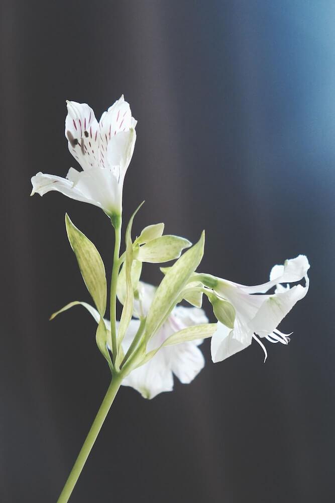 lirio blanco flor