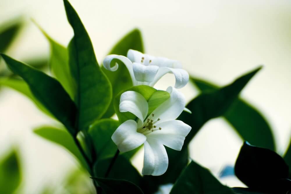 La elegante flor, lirio blanco