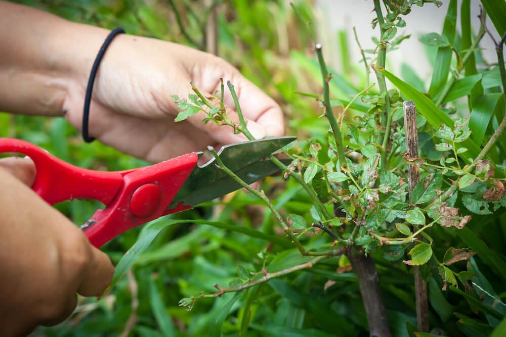 reproducir hortensias con esquejes