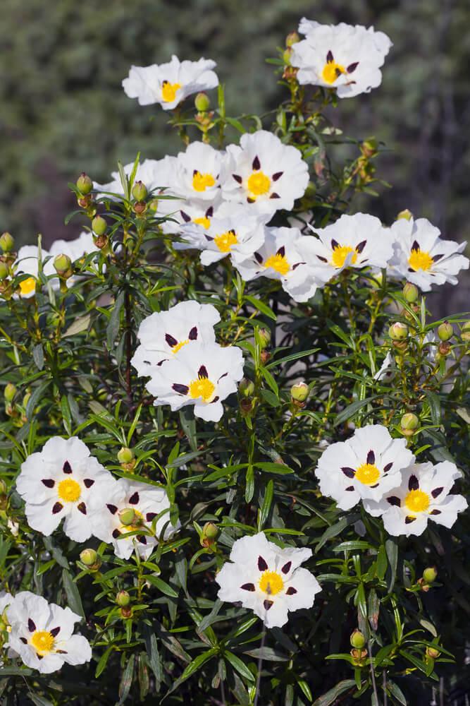 Flor cistus ladanifer