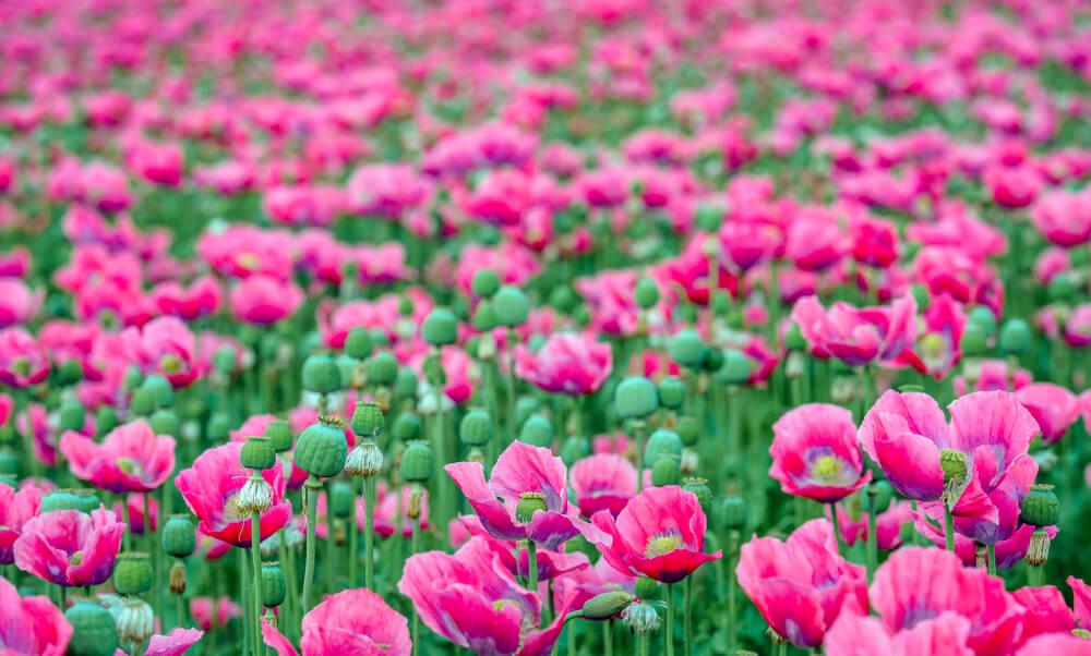 papaver somniferum flores