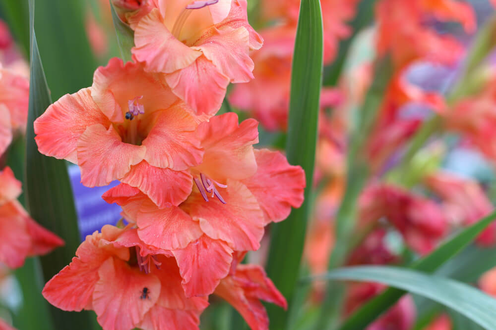 La flor gladiolo