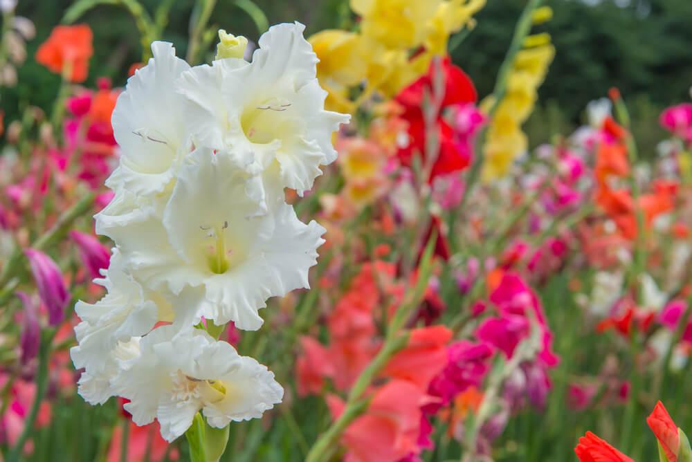 gladiolo blanco