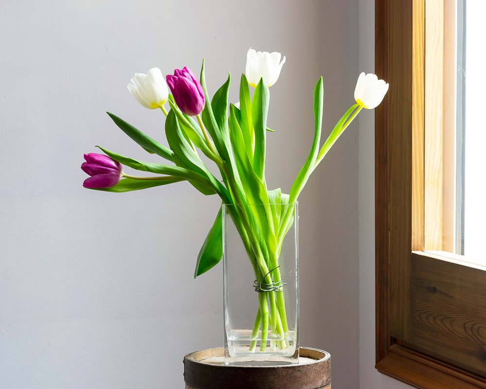 bulbos de tulipán maceta