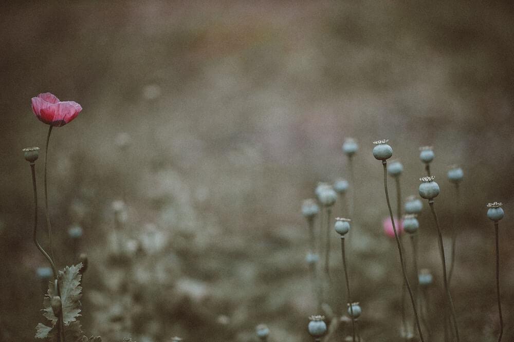 semillas amapola