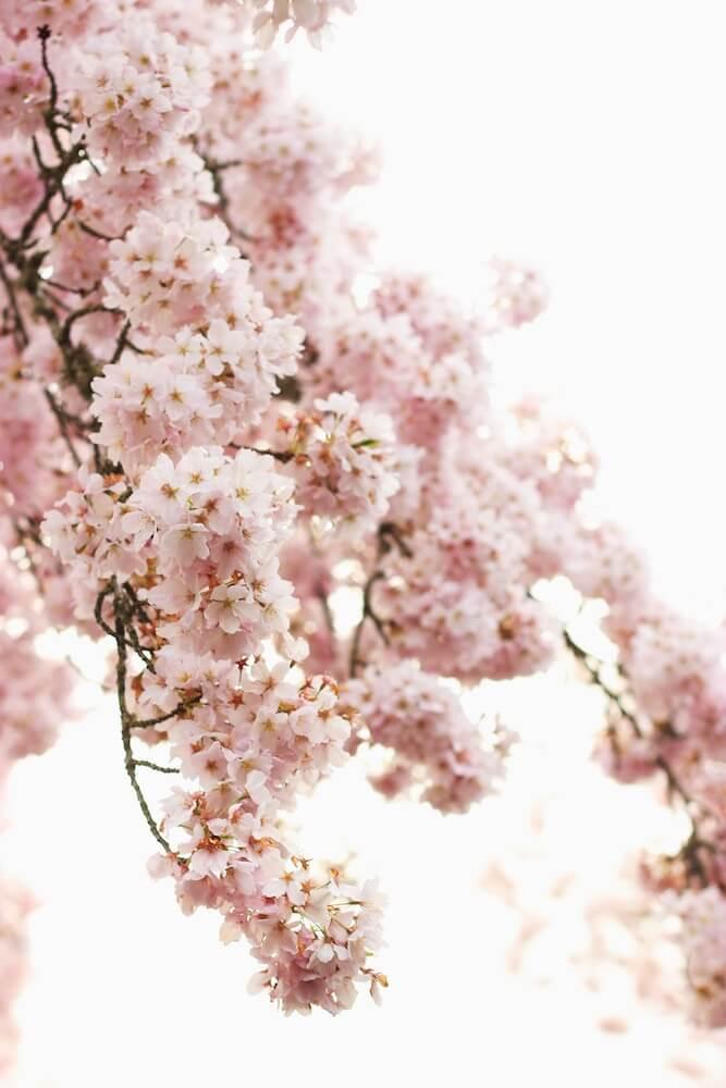 Conoce a la preciosa flor de cerezo