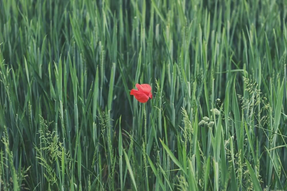 Semillas de amapola – todo lo que tienes que saber