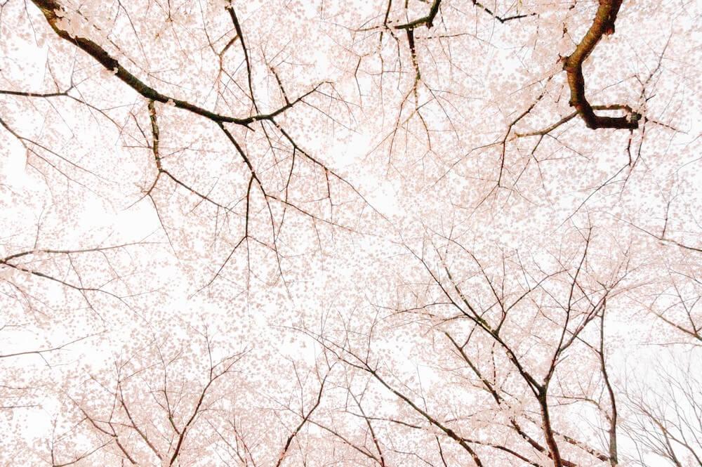 flor de cerezo arboles