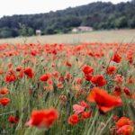 Flor amapola y sus secretos