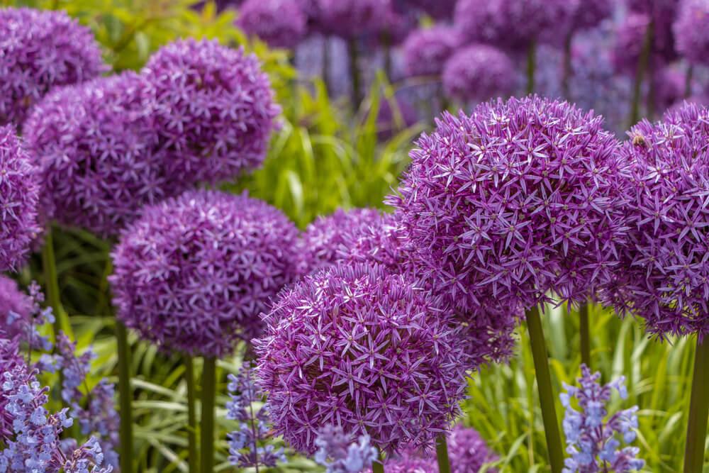 allium floración