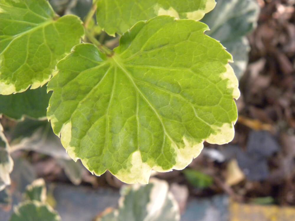 hojas de los geranios se pongan amarillas