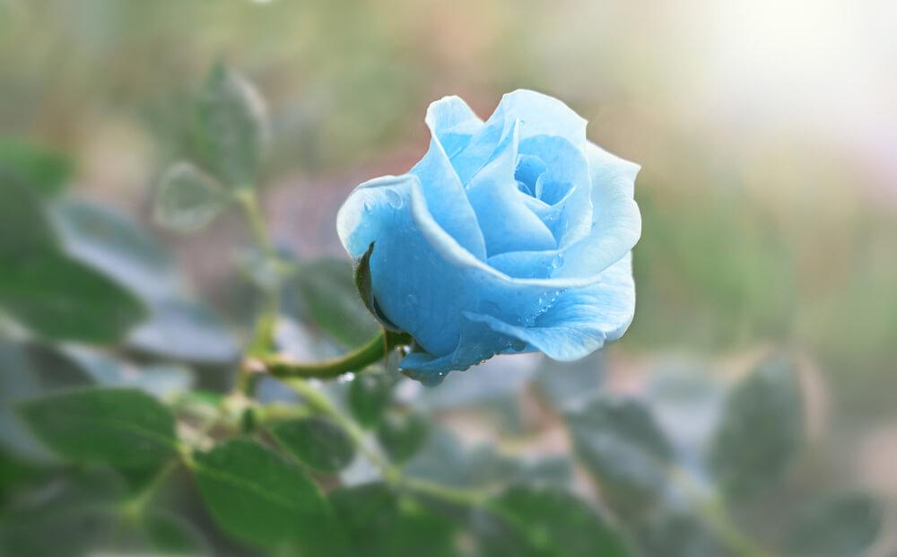 rosas azules flor