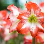 Amarilis, una flor exótica