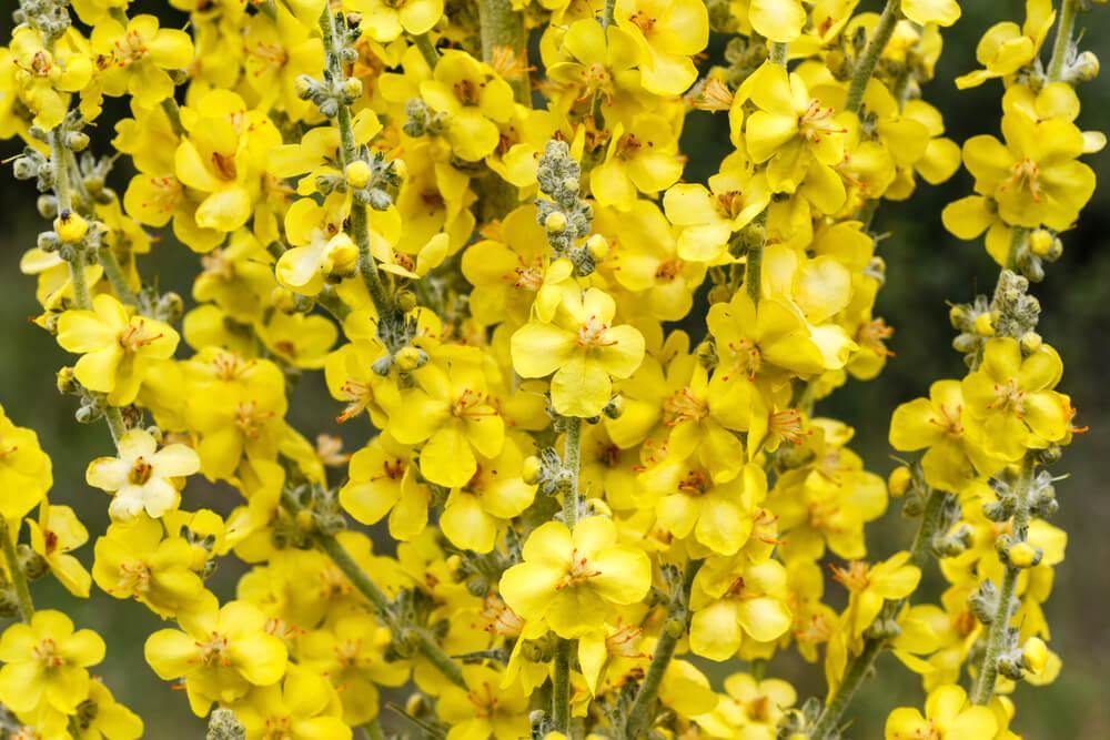 gordolobo flores