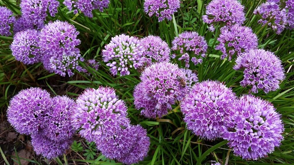 Allium, una flor comestible