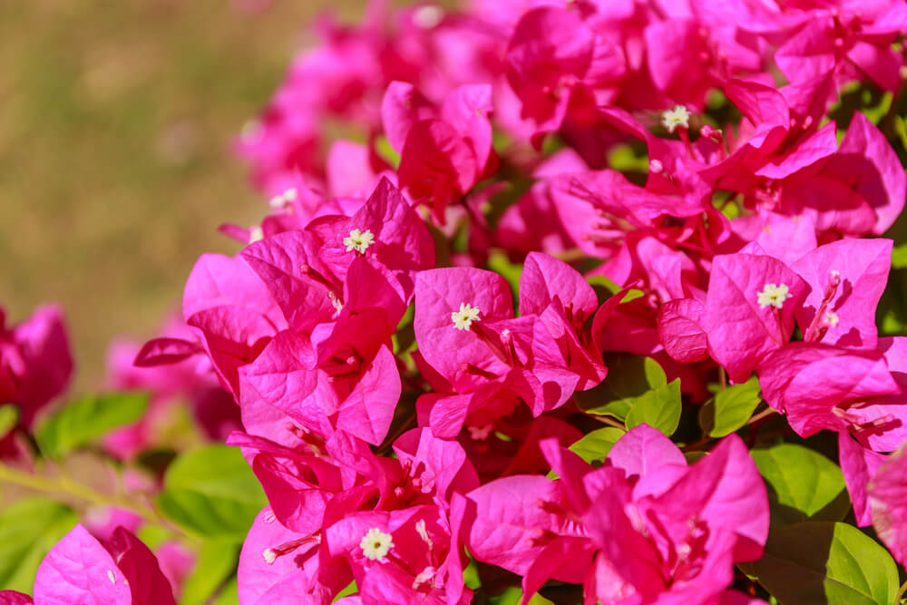 Buganvilla, la flor trepadora