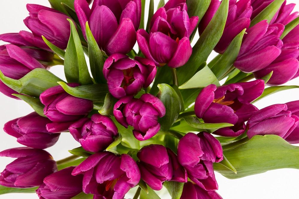 crisis de los tulipanes Colvin