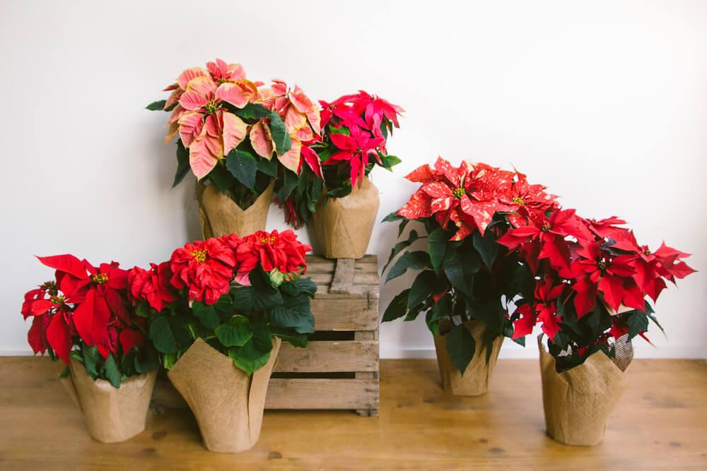 Poinsettia, la flor de la Navidad ha llegado