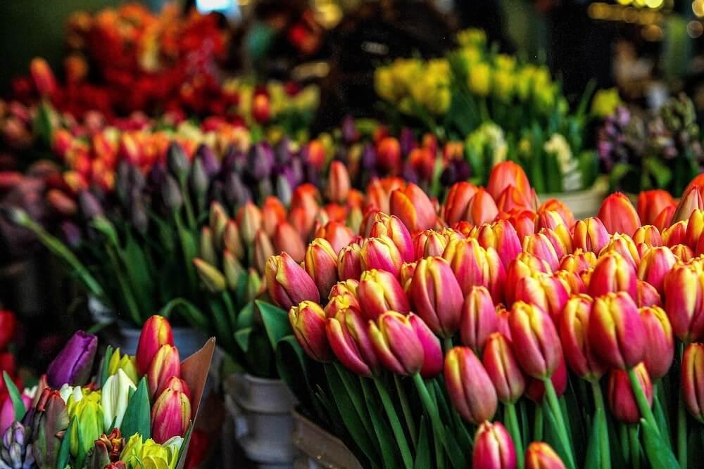 crisis de los tulipanes multicolor