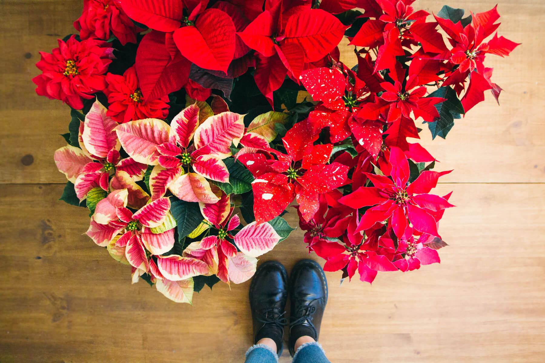 tipos de flor de pascua - flor de navidad colvin