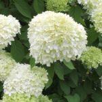 Hydrangea paniculata, una hortensia muy peculiar