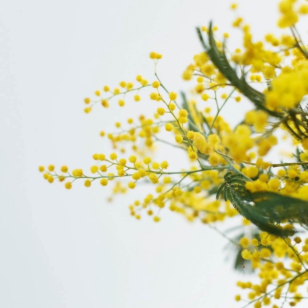 Enamórate de la flor mimosa