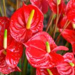 La extraña flor anthurium