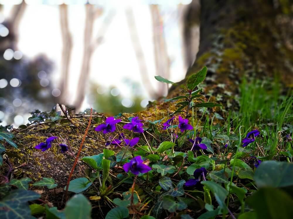violetas bosque