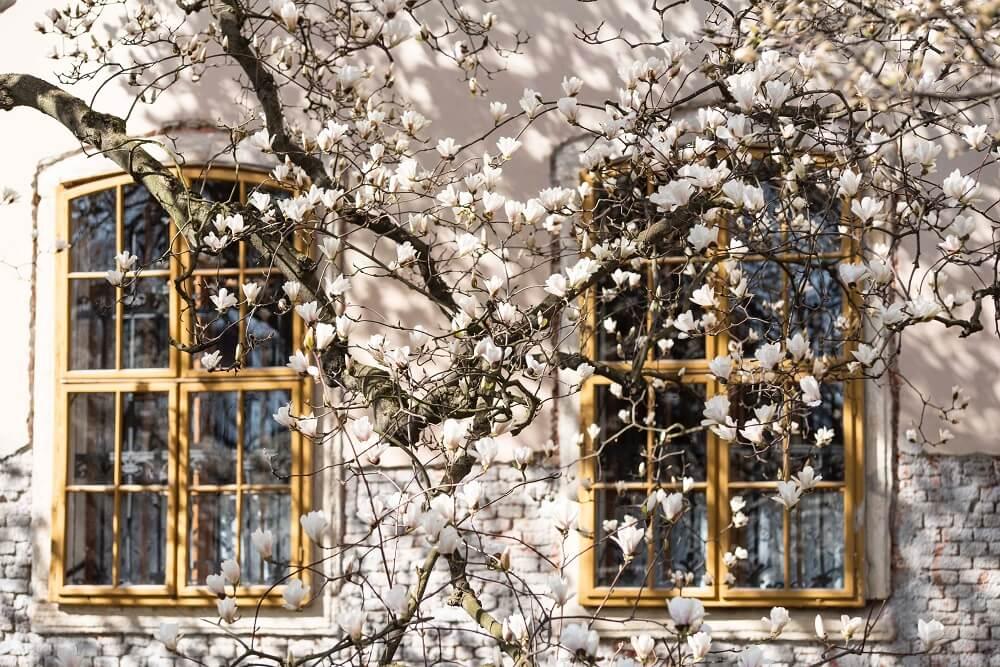 magnolias en ventana