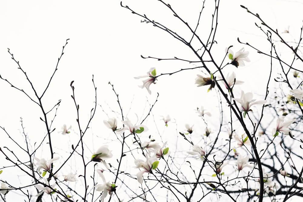 Magnolias: descubre a la flor perfecta