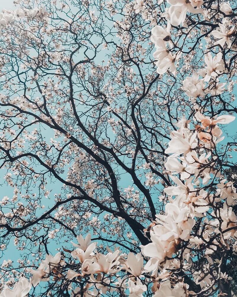 magnolias árbol