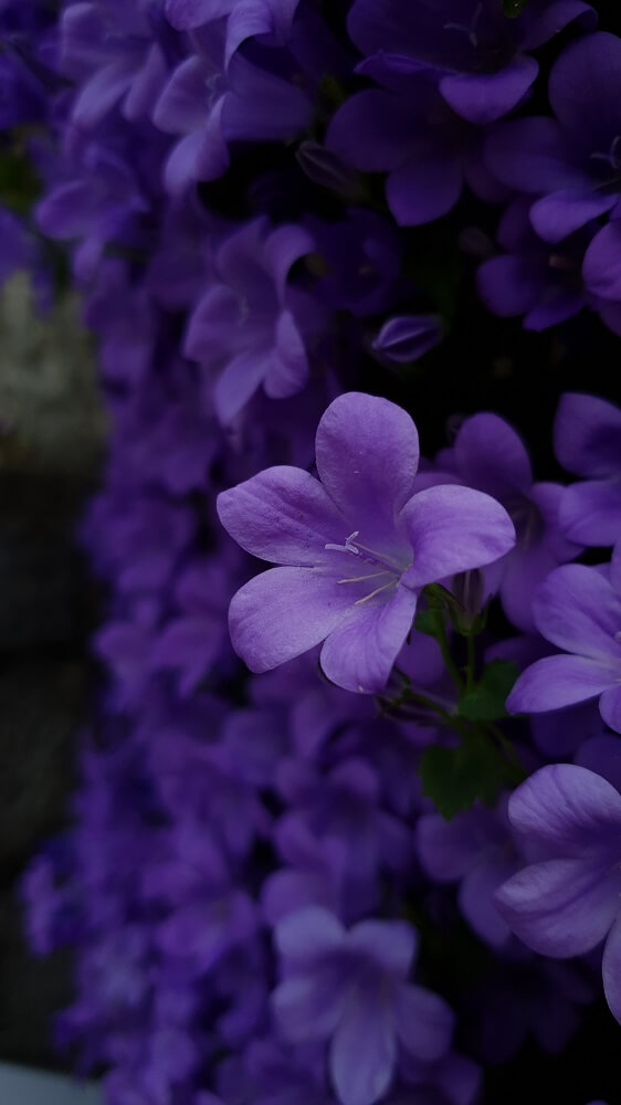 violetas detalle