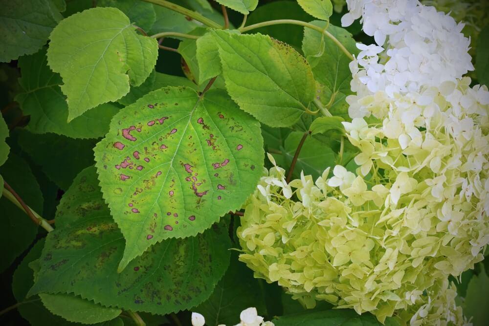 enfermedades de las hortensias oidio