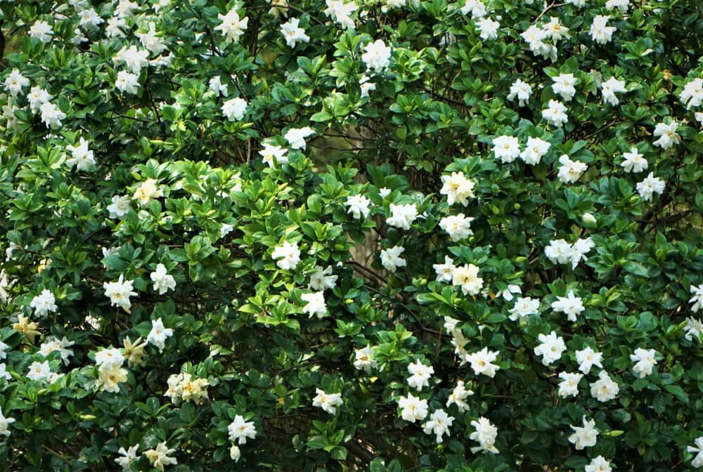 gardenia conjunto