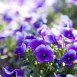 Cuidados de las violetas