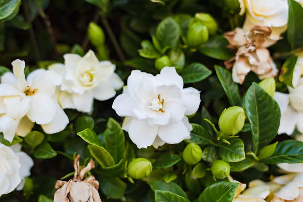 gardenia flor