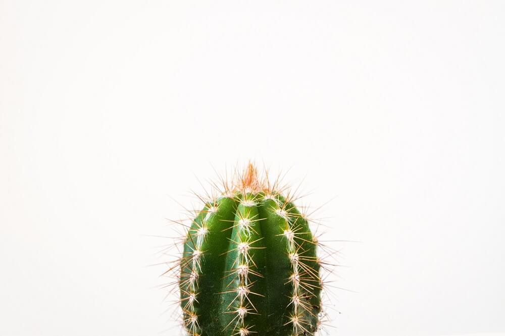 cactus cabeza