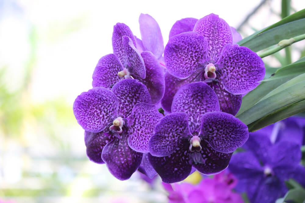 tipos de orquídeas vanda
