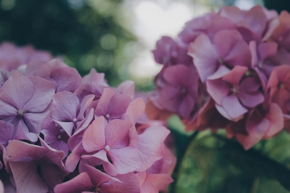Enfermedades de las hortensias: ¿Cuáles son las más comunes?