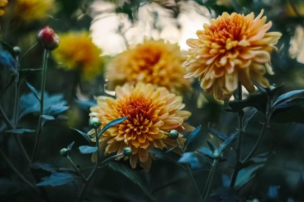 flores de primavera dalia