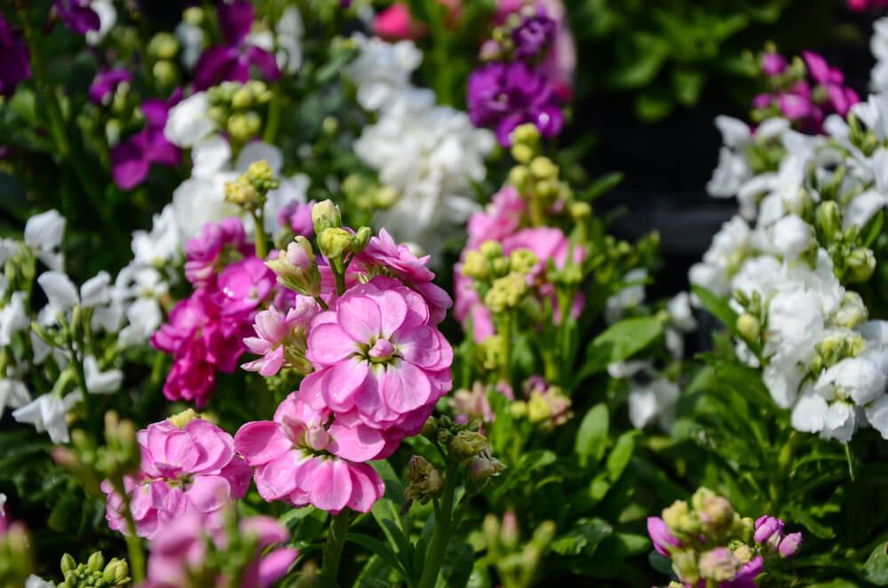 Matthiola: regalos que aparecen en primavera