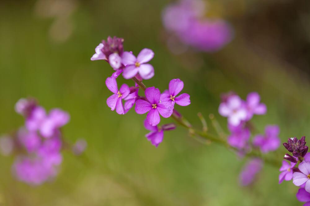 Matthiola lila